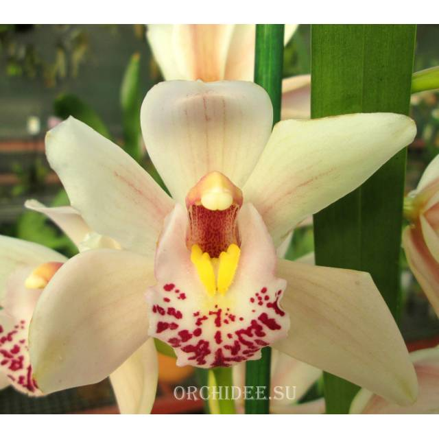 Cymbidium Cream Dream