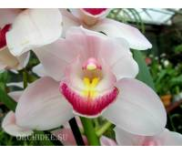 Cymbidium Light Pink