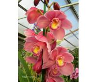 Cymbidium Best Pink