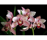 Cymbidium Summer Love 'Dwaft Pink'