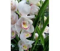 Cymbidium White Pink