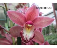 Сymbidium Pearl Flor