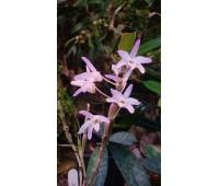 """Dendrobium monoliforme """"Pink Flower"""""""