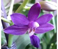Doritaenopsis K.S. Purple Martin 'Blue Star'