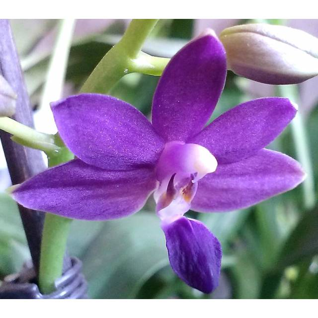 Doritaenopsis K.S. Purple Martin 'Blue Star'