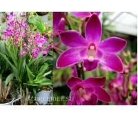 Dendrobium Berry 'Oda' = Dendrobium kingianum x Dendrobium 'Mini Pearl'
