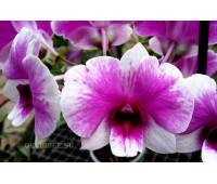 Dendrobium Burana Doll