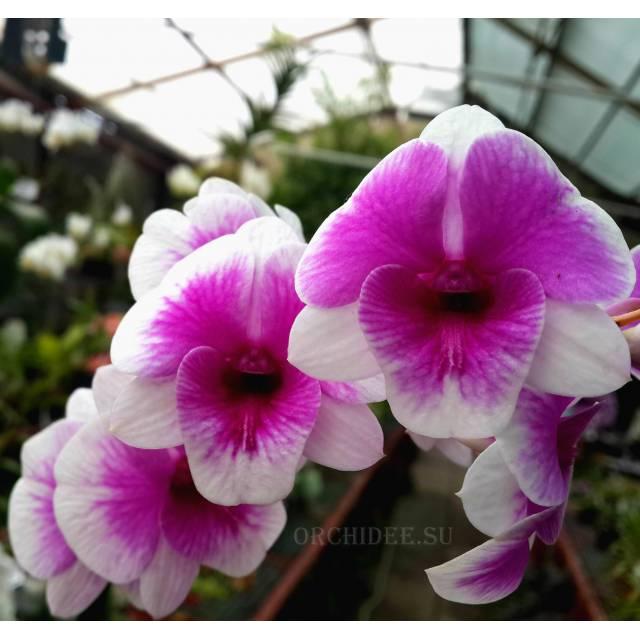 Dendrobium Pink Berries