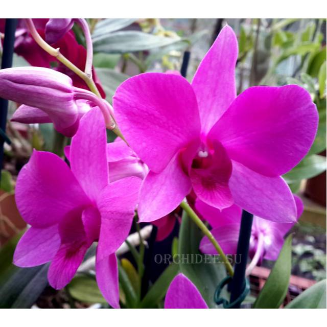Dendrobium Pink Party