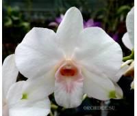 Dendrobium phalaenopsis Papaya Kiss