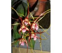Dendrobium tetragonum var. giganteum