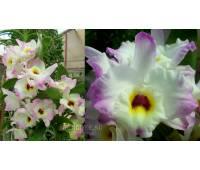 Dendrobium Sweet Pinky 'Momoko' BM/JOGA