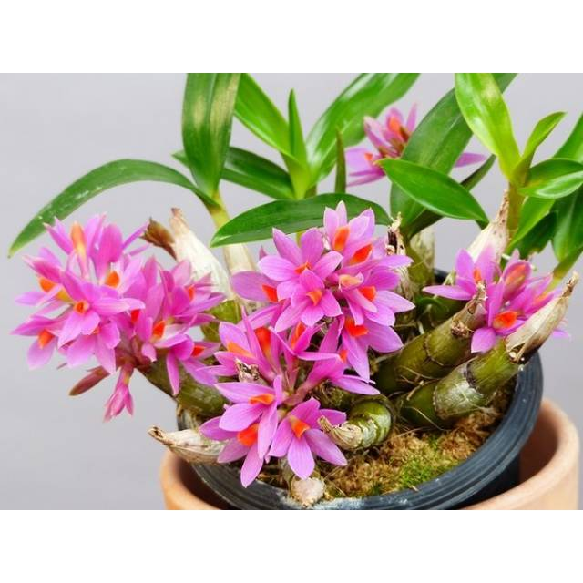 Dendrobium Dwarf Hibiki