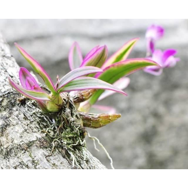 Dendrobium Dwarf variegated