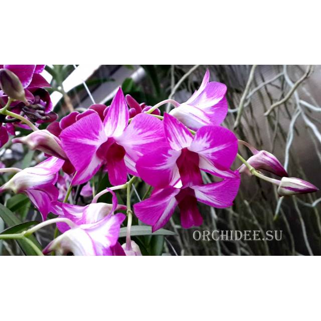 Dendrobium Phok Bong x Little Princess