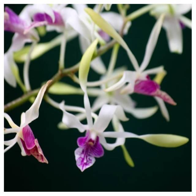 Dendrobium Lowana Nioka