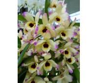 Dendrobium Oriental Paradise 'Aurora'