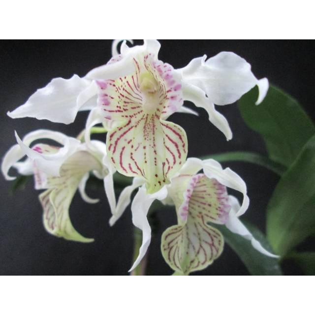 Dendrobium alexanderae x rhodostictum
