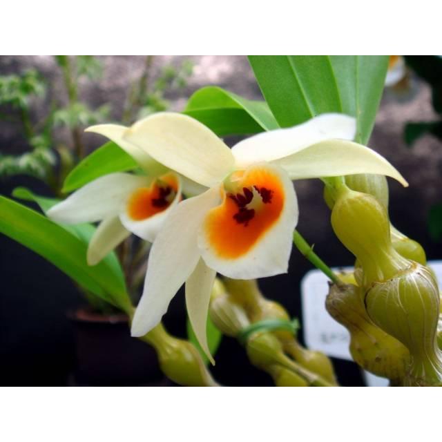 Dendrobium aphrodite
