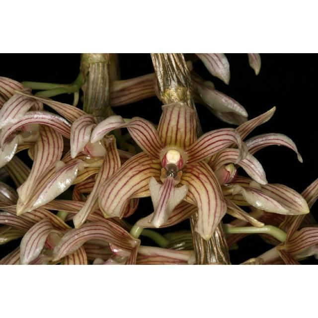 Dendrobium chameleon