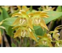 Dendrobium fleckeri