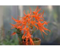 Dendrobium lanyaiae var.orange