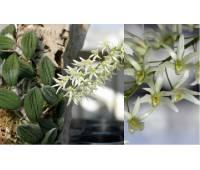 Dendrobium nugentii