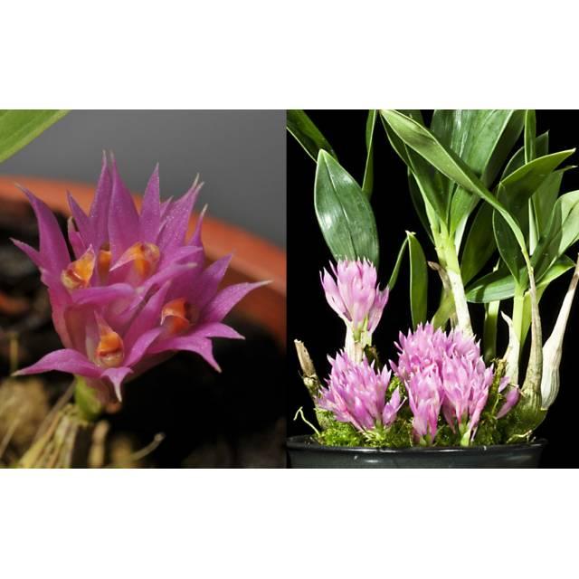Dendrobium petiolatum