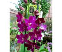 Dendrobium Purple Happiness
