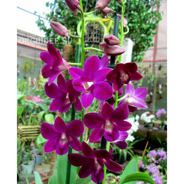 Dendrobium Purple Happiness