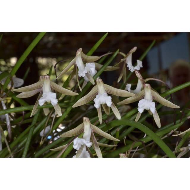 Dendrobium striolatum