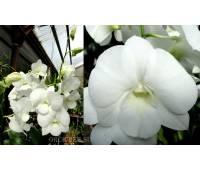Dendrobium phalaenopsis 'White Surpise'