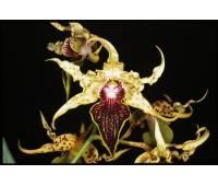 Dendrobium alexandrae