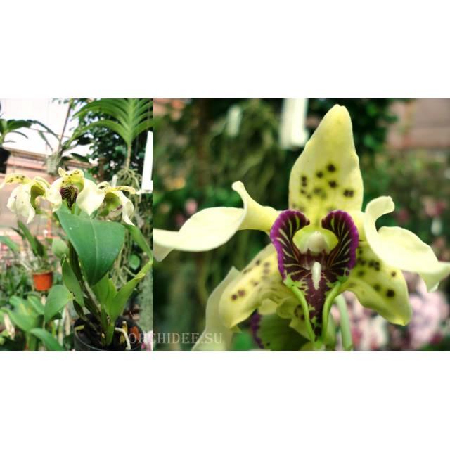 Dendrobium atroviolaceum pygmy type