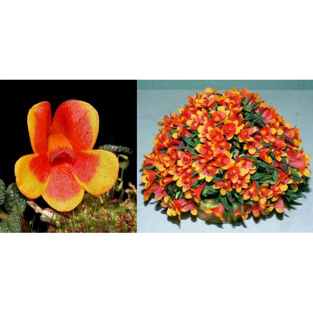 Dendrobium cuthbertsonii bicolor 'Harlekin' x s