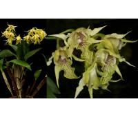 Dendrobium hodgkinsonii