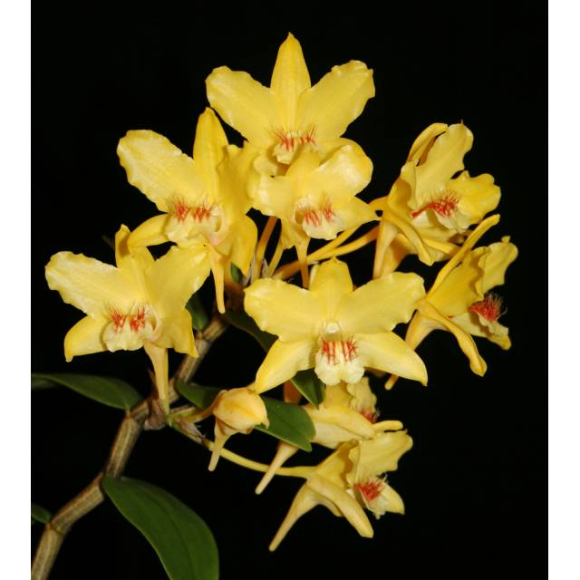 Dendrobium lowii