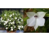 Dendrobium subuliferum