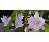 Diacattleya Chantilly Lace 'Twinkle' HCC/AOS