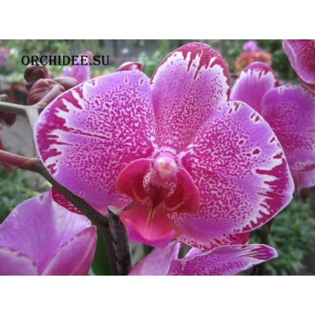 Doritaenopsis DTPS 004 OX Firebird 'OX 1495-Kate' AM/AOS