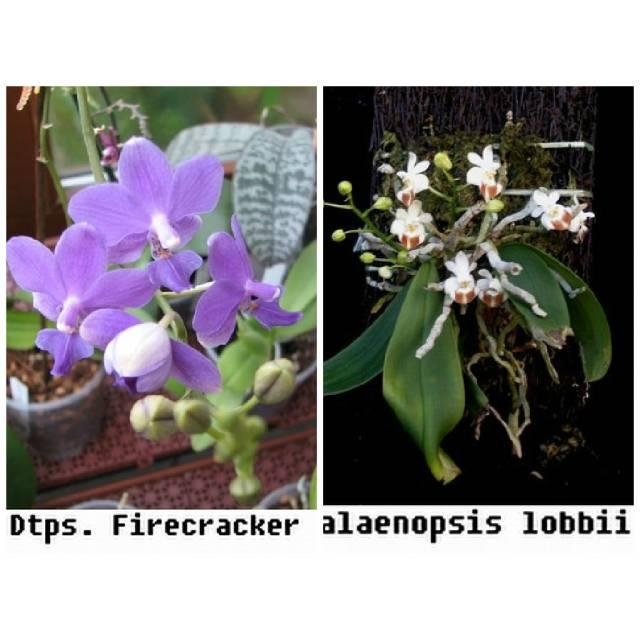 Doritaenopsis Fire Cricket blue x lobbii