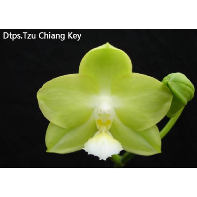Doritaenopsis Tzu Chiang Key