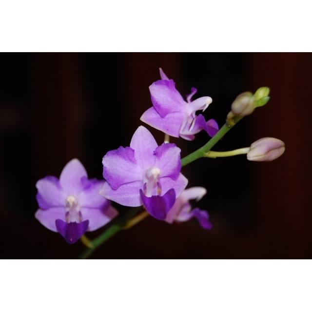Dtps.Purple Martin 'KS' x pulcherrima blue(pelorics forms)