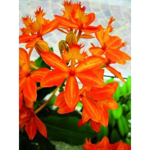 Epidendrum Star Valley Nalo