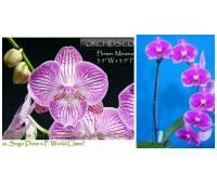 Phalaenopsis Yu-Pin Fire Works 'Big Lip' x (OX King-OX Black Jack)