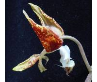 Gongora catiligera