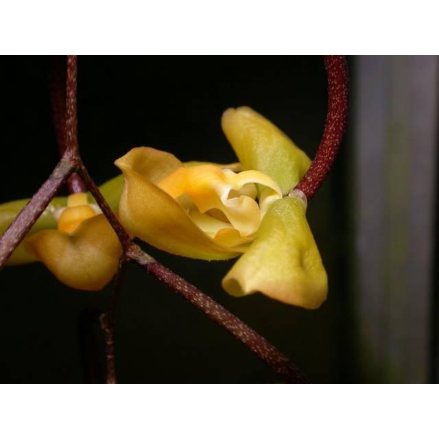 Gongora tridentata