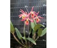 Guarianthe aurantiaca x Cattleya maxima