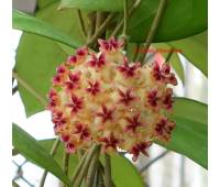 Hoya erythrostemma red