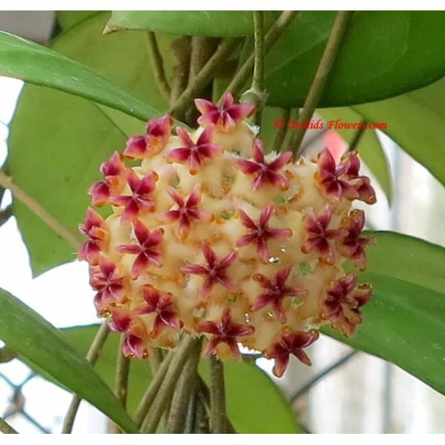 Hoya erythrostemma red